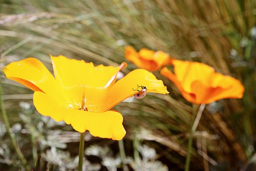 Poppy, Ladybug, Nature, Flower, Red, Green, Summer