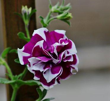 Flower, Garden, Purple And White Flower, Nature