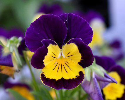 Pansy, Flower, Purple And Yellow Flower