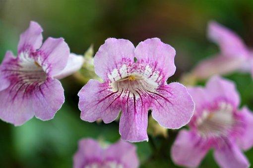 Flower, Ziyun Flowers, Purple Yun Vine, Pink