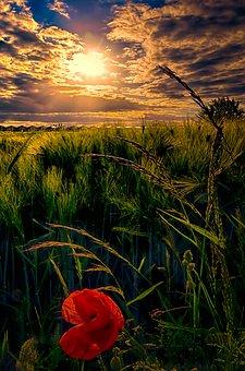 Flower, Poppy, Cornfield, Nature, Summer, Red, Spring