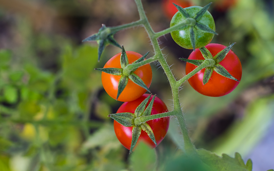 Nature, Background, Tomato, Tomato Plant, Red, Eat