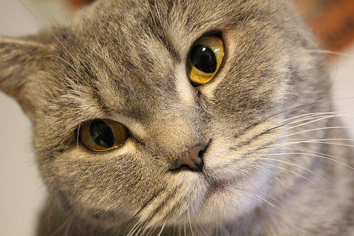 Cat, British Shorthair Cat, Whiskers, Eyes, Close Up