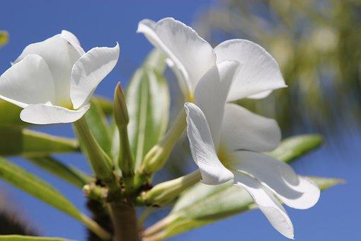 Flower, White, Nature, White Flower, White Flowers