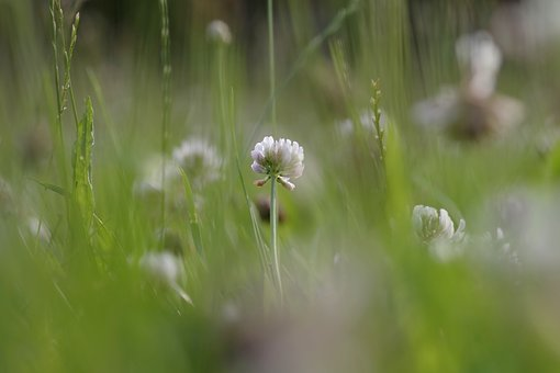 Meadow, Nature, Green, Flower, Clover, White
