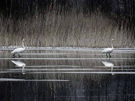 Whooperswan, Finland, Nature, Lake, Spring