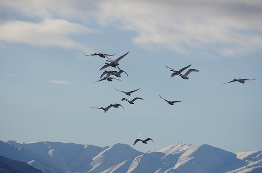 The Wild Swans, The Whooping, A Flock Of, Flight
