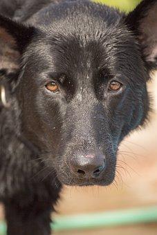 German Shepherd, Dog, German, Shepherd, Animal, Canine