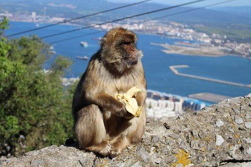 Ape, Banana, Gibraltar, Animal, Monkey, Eating, Wild