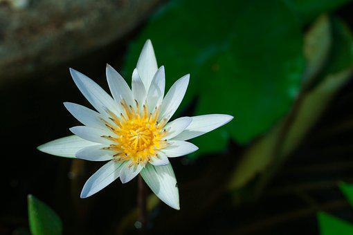 Lotus, Flower, Flowers, Nature, Background, Water