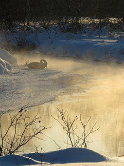 Wild Swan, Whooper, River, Backwater, Duct, Loneliness