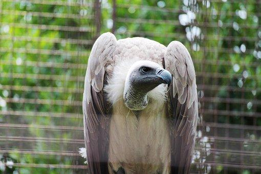 Birds Of Prey, Animal, Bird, Zoo, Condor