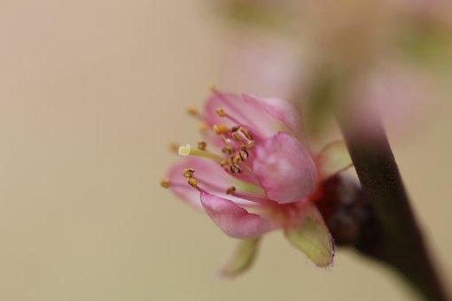 Blossom, Bloom, Garden, Peach, Japanese, Tree