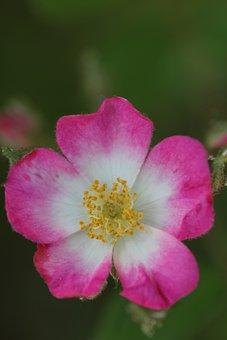 Wild Rose, Summer, Blossom, Bloom, Bush, Rose Family