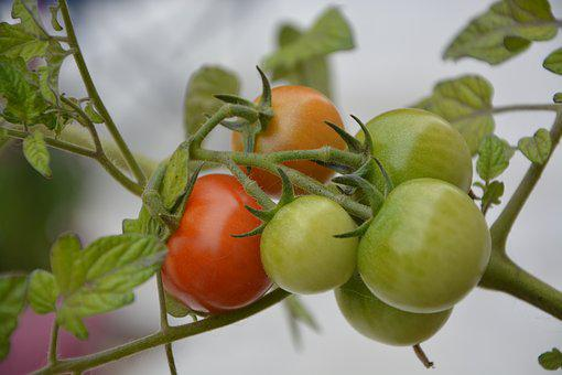 Tomatoes, Red, Green, Branch, Cherry Tomato, Nature