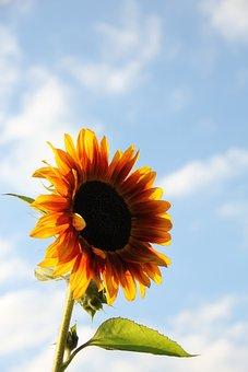 Sun Flower, Sky, Summer, Close, Nature, Flower, Yellow