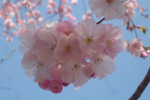 Flowers, Spring, Nature, Full Bloom, Close, Plant, Tree