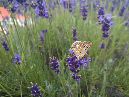 Lavender, Azúrlepke, Butterfly, Flower, Nature, Animal
