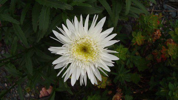 Flower, White Flower, Bloom