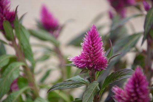 Flowers Célosia, Pink Fuchsia, Garden Solid, Annual