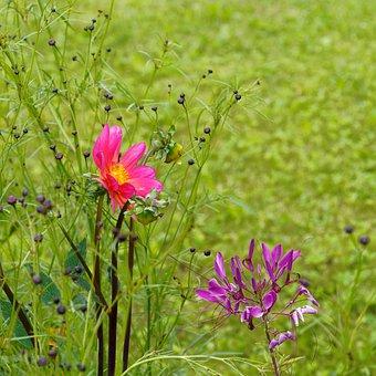Cosmos, Flowers, Garden, Nature, Summer Flowers