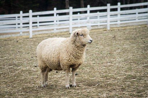 Yang, Sheep, Animal, Ranch, Gangwon Do, The Farm