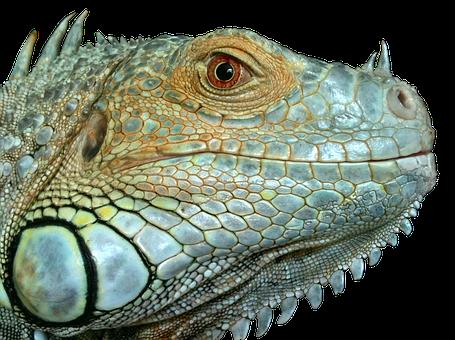 Iguana, Reptile, Lizard, Green, Close, Blue, Eye, Scaly