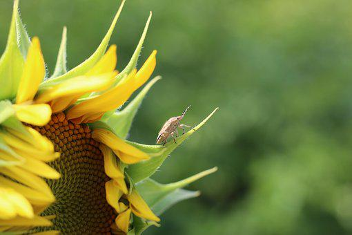 Sun Flower, Beetle, Yellow, Insect, Plant