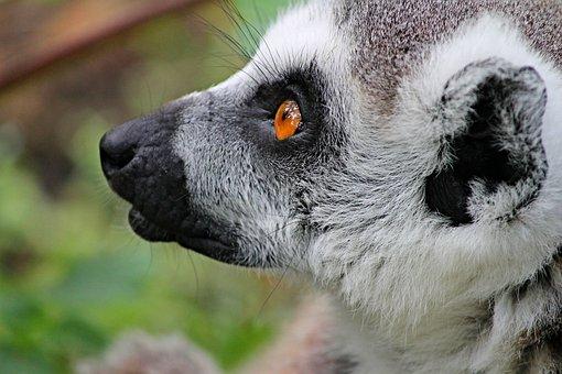 Maki, Lemur, Lemur Monkey, Madagascar, Cute, Watch