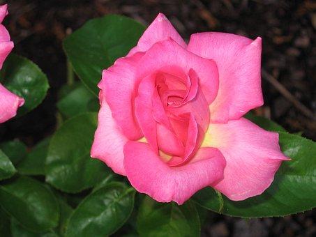Pink, Pink Rose, Rose, Nature, Petal, Flower, Romantic