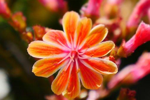 Flowers, Nature, Orange