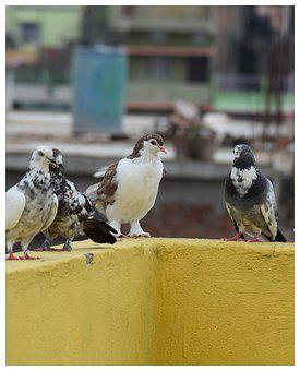 White Pigeon, Pigeon Group, Black And White Pigeon
