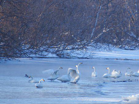 The Wild Swans, The Whooping, A Flock Of, River