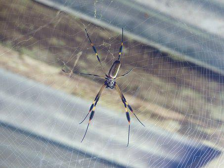 Spider, Golden Silk Spider, Spider Silk, Costa Rica