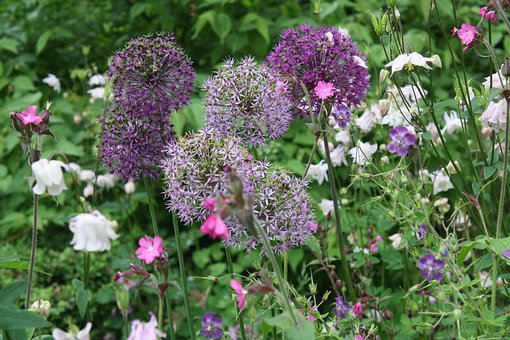 Flowers, Floral, Alliums, Summer, Nature, Plant