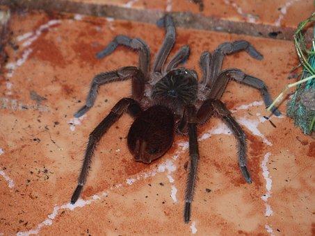 Tarantula, Spider, Toxic, Tropics, Exotic, Hairy