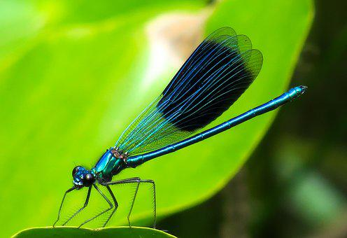 Animal, Dragonfly, Insect, Wing, Wildlife Photography