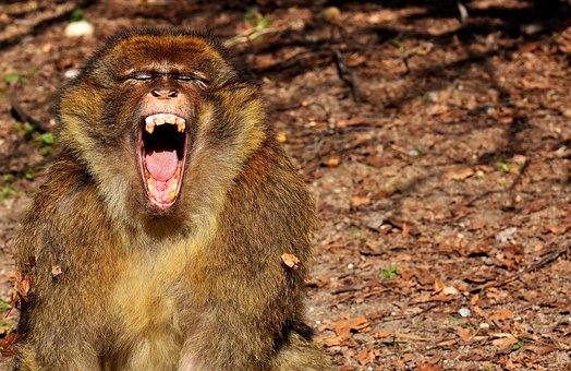 Barbary Ape, Yawn, Endangered Species