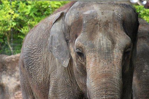 Elephant, Animal, Zoo, Africa, Large, Cute