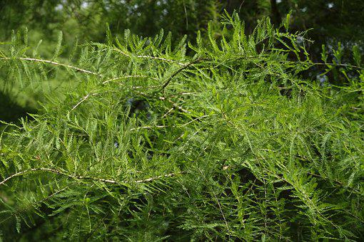 Tree, Leaves, Needles, Aesthetic, Conifer, Nature