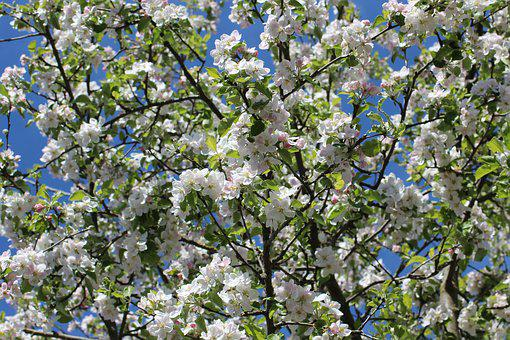Apple Blossoms, Flowers, Spring, Apple Tree Flowers