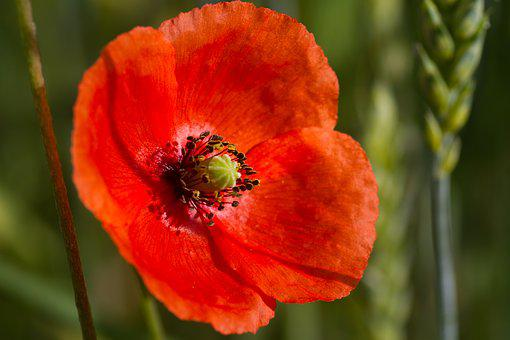 Poppy, Red, Blossom, Bloom, Red Poppy, Color, Nature