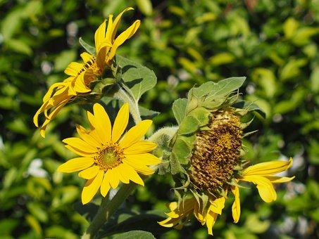 Sun Flower, Garden, Summer, Yellow, Blossom, Bloom