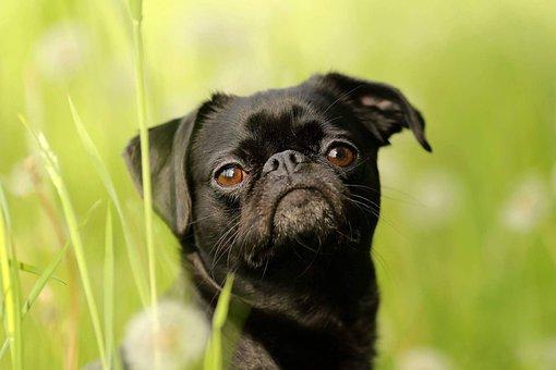 Dwarf Griffon, Brabant, Dog, Cute