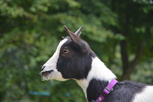 Dwarf Goat, Profile Of Goat, Black And White, Dwarf