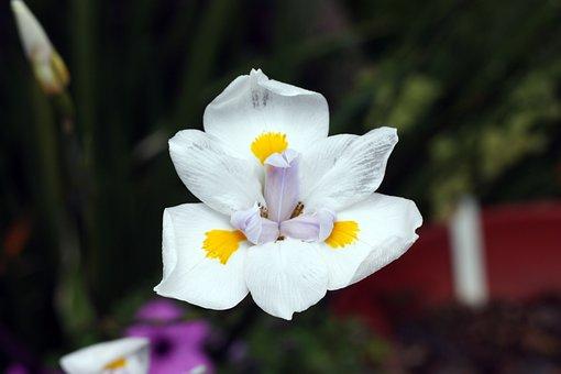 Iris, Flower, White, Floral, Garden, Blossom, Bloom