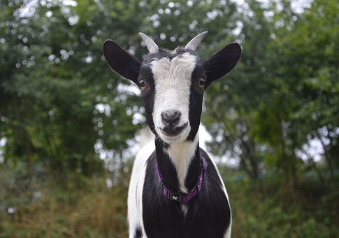 Dwarf Goat, Small, Black And White, Ruminant, Grass
