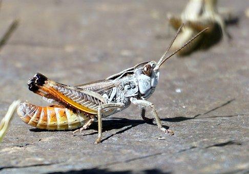Grasshopper, Animal, Insect, Macro, Nature, Antenna