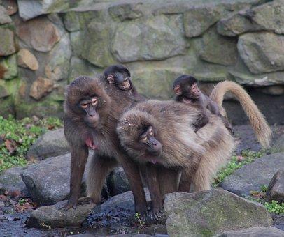 Monkeys, Wildlife, Zoo, Mammal, Grooming, Jungle, Wild