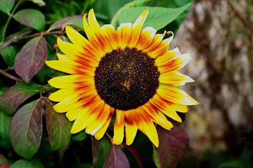 Plant, Ornamental Sunflower, Flowering, Summer Plants